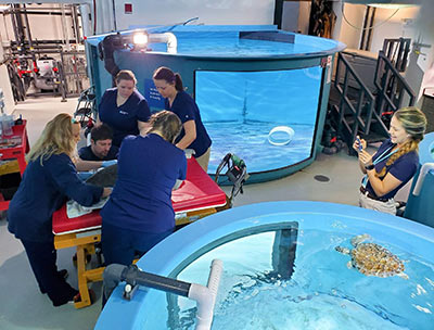 McLaughlin live-streaming a sea turtle procedure for a distance learning program.