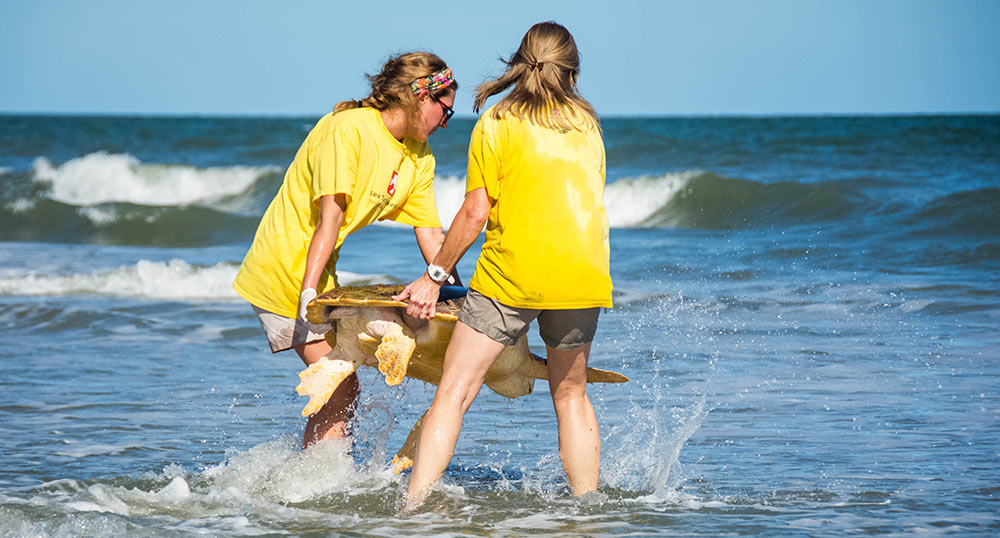 Moon the sea turtle is released after being cared for at the Sea Turtle Hospital.